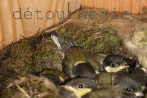 mésange charbonnière oisillons dans nichoir