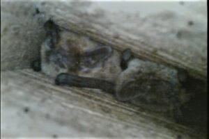 pipistrelles de Kuhl gîte n°20