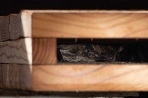 pipistrelle de khul